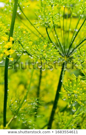 Gotas funcho gotas de água folhas picante grama Foto stock © vavlt