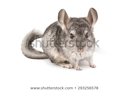 Chinchilla blanche cute rongeur amour Photo stock © Stellis