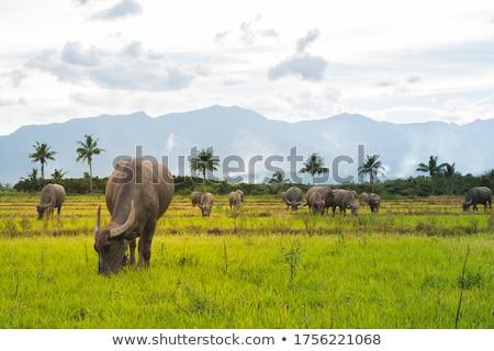 thai buffalo Stock photo © tungphoto