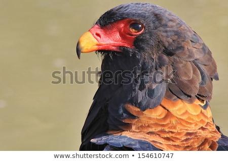 Aigle portrait beauté plumage sauvage libre Photo stock © Livingwild