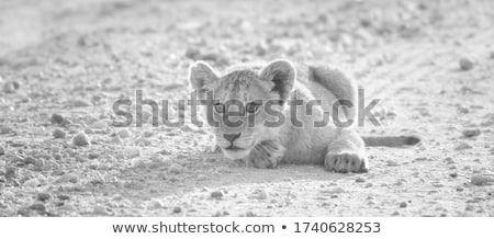 cute lion cub in black and white stock photo © donvanstaden