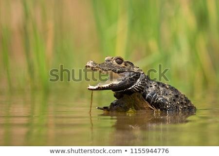 Cüce krokodil esaret ayaklar siyah cilt Stok fotoğraf © bradleyvdw