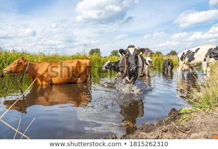 коров питьевая вода окоп Голландии области природы Сток-фото © compuinfoto