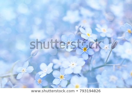 Blue forget me not flowers in the garden Stock photo © Julietphotography