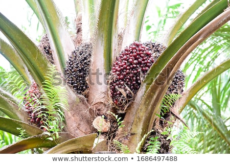 Palm семени белый феникс продовольствие Сток-фото © supersaiyan3