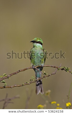 小さな 緑 アフリカ 蜂 美しい 環境 ストックフォト © davemontreuil