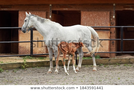 white horse foal suckling from mare stock photo © yongkiet