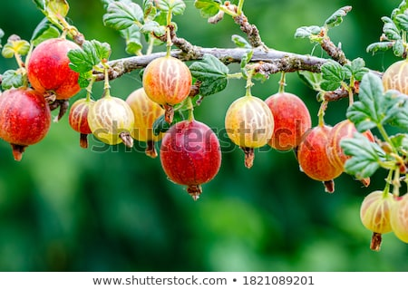 gooseberry growing on bush Stock photo © konturvid