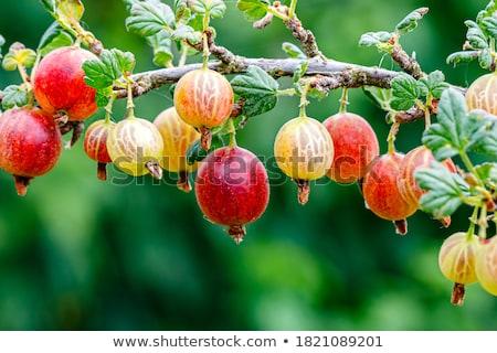 yaprakları · beyaz · meyve · arka · plan · yeşil · meyve - stok fotoğraf © konturvid