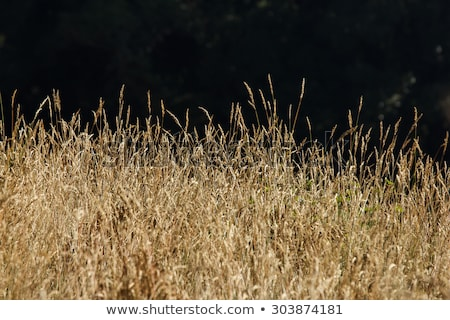 Wild grass in the light of the midday sun. stock photo © EFischen