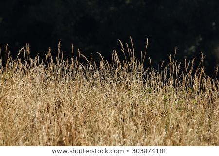трава · свет · солнце · области · растущий - Сток-фото © EFischen