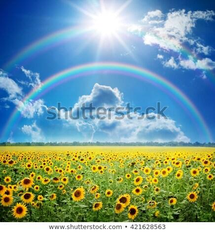 Foto stock: Summer Field Sky Sun Rainbow Grass Sunflowers