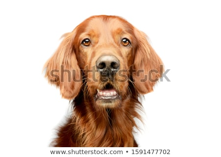 Stock photo: Irish setter portrait