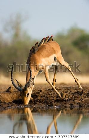 Pitnej Botswana rezerwa południowy Afryki rodziny Zdjęcia stock © romitasromala
