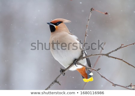 Bohemian Waxwing stock photo © bazilfoto