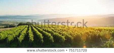 Szőlőskert nyár étel hegy zöld ősz Stock fotó © Antonio-S