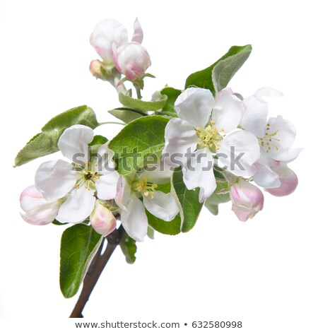 flowering appletree stock photo © jarin13