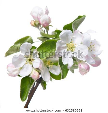 Florescimento macieira primavera República Checa céu flor Foto stock © jarin13
