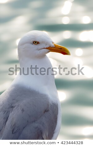 Seagull looking out over a glistening sea. Stock photo © latent