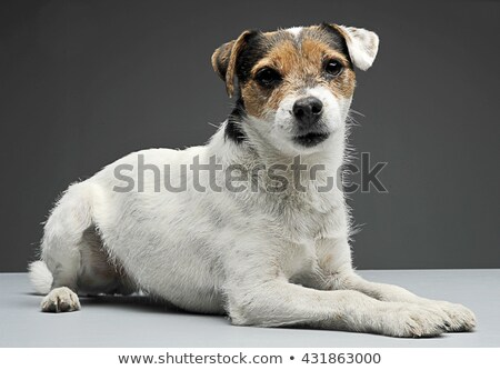 Parson Russell Terrier lying with in the gray photo studio stock photo © vauvau