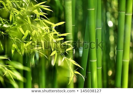 Stock photo: Asian bamboo forest and sun light