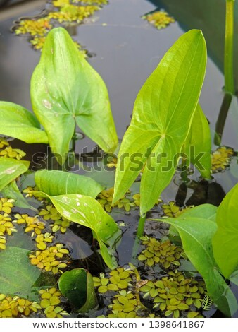 Floating leaves of Sagittaria natans aquatic plant Stock photo © Mps197