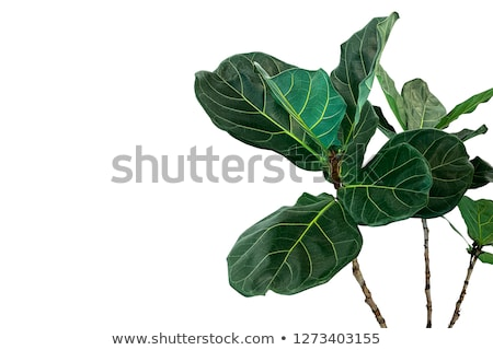 ficus leaves Stock photo © LightFieldStudios