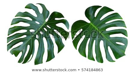 dense leaves closeup Stock photo © prill