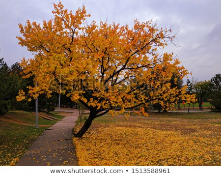 Sonbahar ağaç düşen yaprakları beyaz orman Stok fotoğraf © odina222