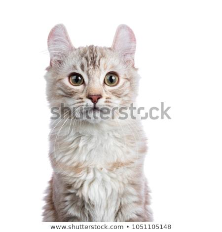 頭 ショット チョコレート 銀 アメリカン 猫 ストックフォト © CatchyImages