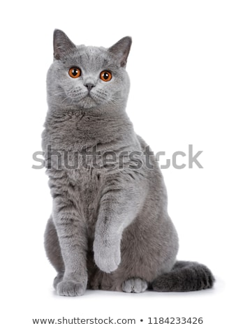 sweet young adult solid blue british shorthair cat kitten isolated on white background stock photo © catchyimages