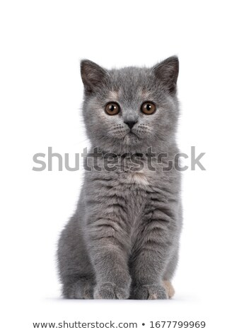 Cute blue white British Shorthair kitten on white Stock photo © CatchyImages