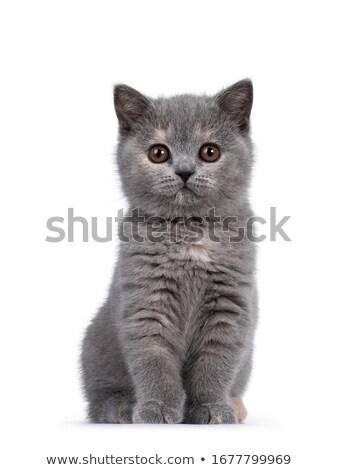 Cute Blauw witte brits korthaar kitten Stockfoto © CatchyImages