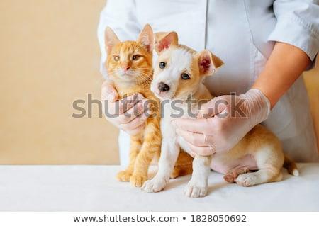 Kettő fiatal állatorvos orvosok megvizsgál macska Stock fotó © Kzenon