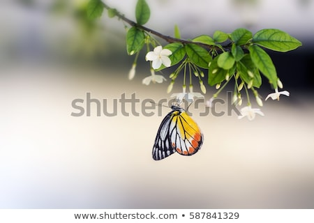 Butterfly on white blossom tree, collecting nectar from flower. Stock photo © marylooo