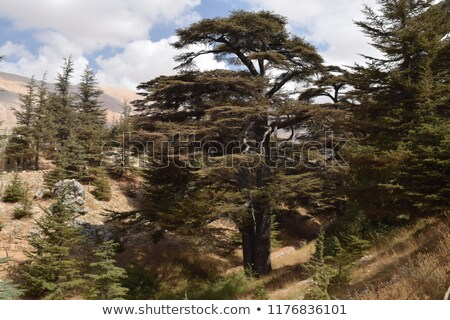 Cedars of God forest Stock photo © Anna_Om