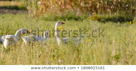 Farm Geese Stock photo © THP