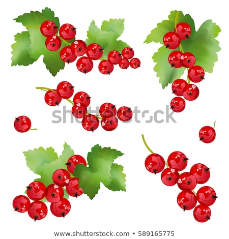 Red currant berries. Set of hand drawn vector illustrations of sprigs of redcurrant with bunch of be Stock photo © designer_things