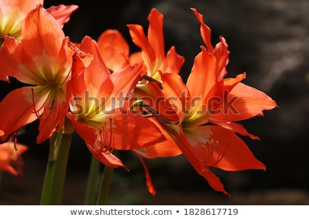 Сток-фото: цветок · изолированный · белый · красный · Лилия · карнавальных