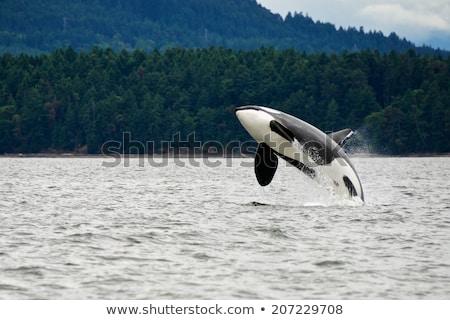 golfinho · saltando · fora · água · piscina · azul - foto stock © musat