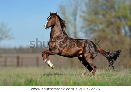 English Thoroughbred Horse Stock photo © Stocksnapper