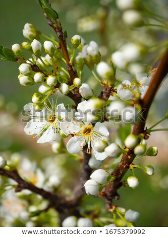 pink plum tree flowers Stock photo © smithore