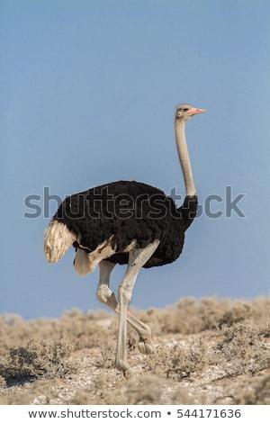 Common ostrich (Struthio camelus) Stock photo © ajlber
