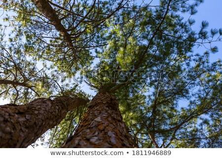 çam doku yaprak arka plan bitki Noel Stok fotoğraf © myimagine