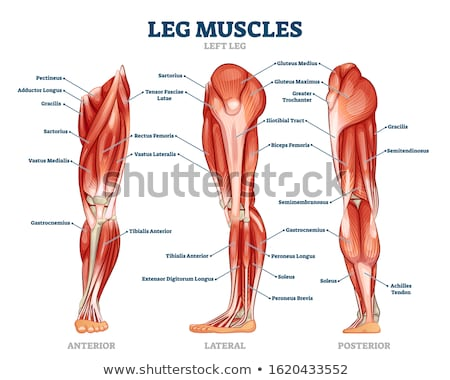 Stock photo: Vector Human Muscle Anatomy