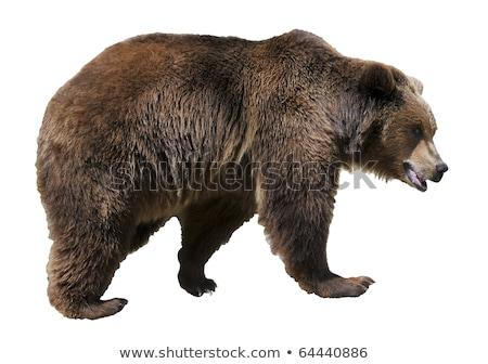 Бурый медведь профиль голову лице Сток-фото © KMWPhotography