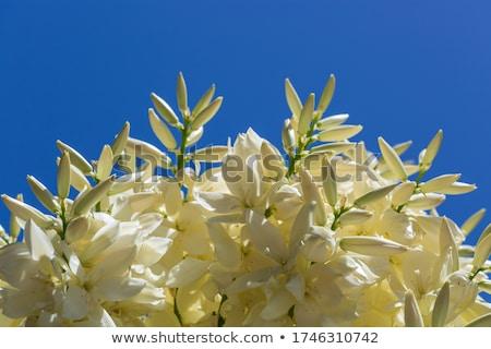Datum palmboom witte bloemen groene bloem Stockfoto © stocker
