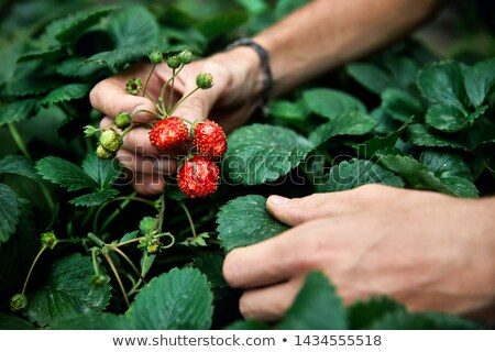 Picking strawberries. Stock photo © Reaktori