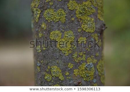 Mousse écorce sequoia Californie arbre forêt Photo stock © lunamarina