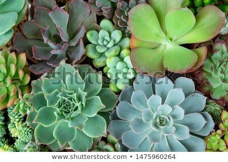 flower sedum stock photo © peredniankina